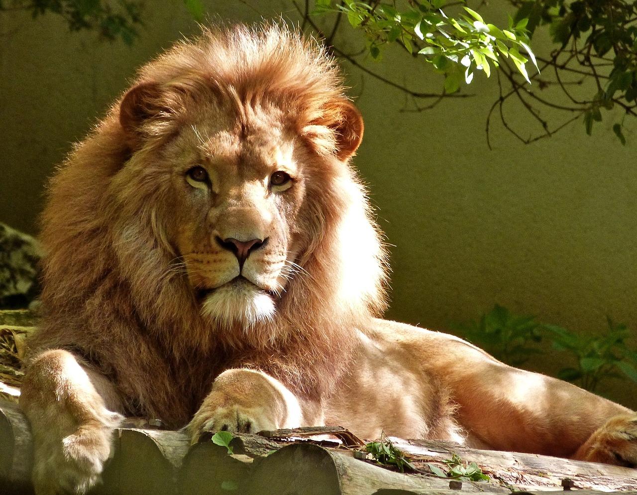 lion-1840092_1280